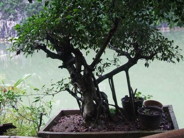 榕树怎么画步骤
