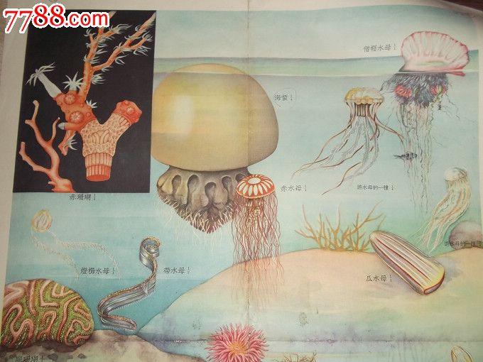 教学挂图----腔肠动物与海绵动物