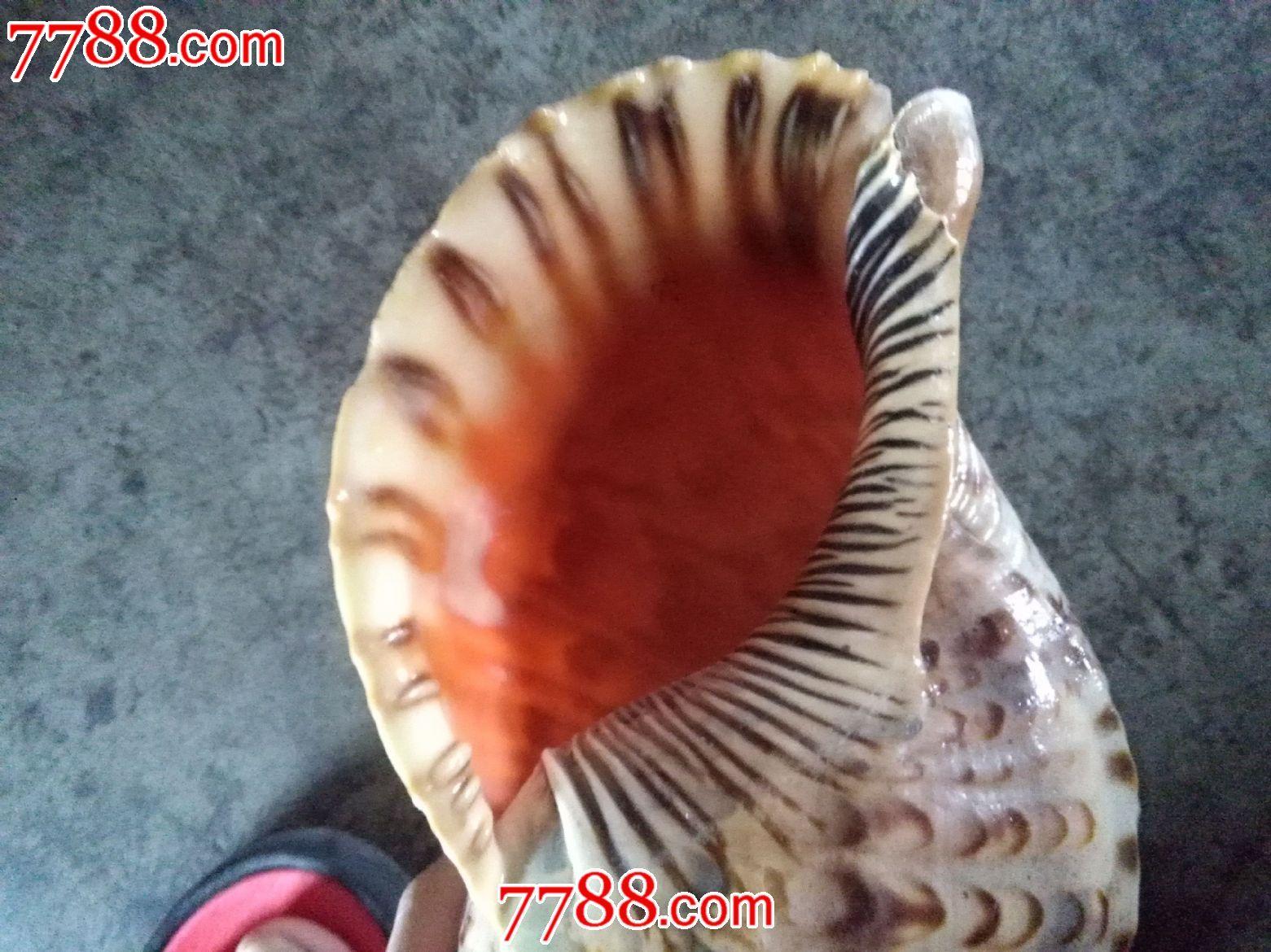 海螺摆件工艺品