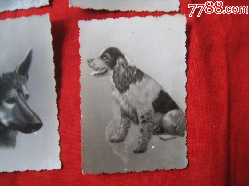 民国动物艺术老照片:四只可爱的小金吧旺财狗狗
